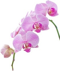 orchid white picture 6