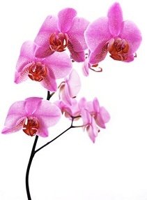 orchid white picture 8