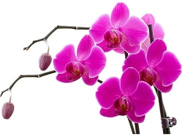 orchid white picture 9