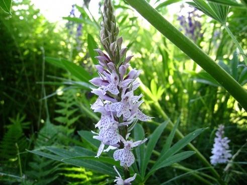 orchide wild vegetation