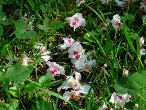 ordinary rosskastanie flowers grass