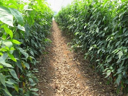 organic pepper soil