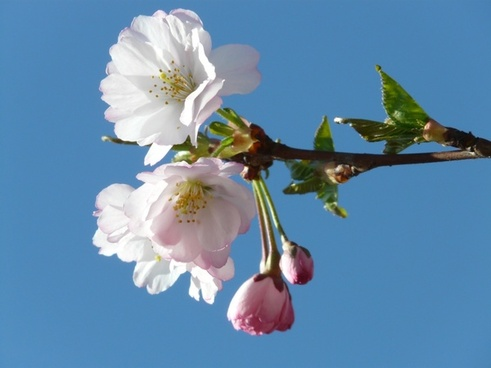 ornamental cherry bud flowers