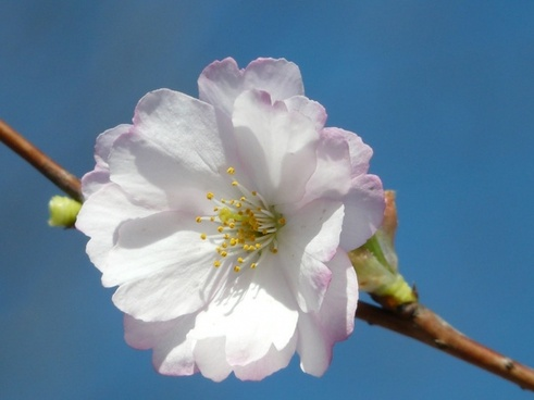 ornamental cherry flower close