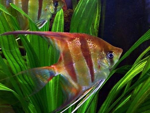 ornamental fish animal water