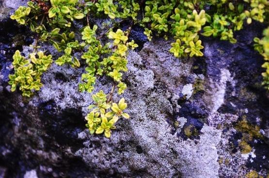 ornamental foliage