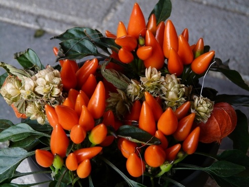 ornamental peppers paprika pod