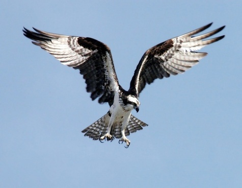 osprey adler bird of prey