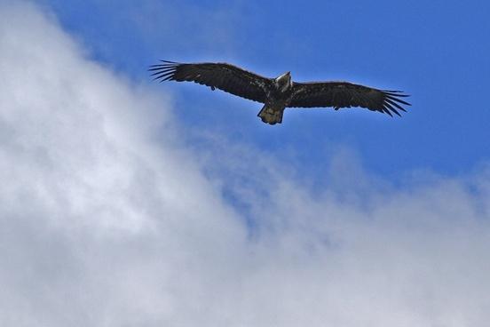 osprey raptor bird