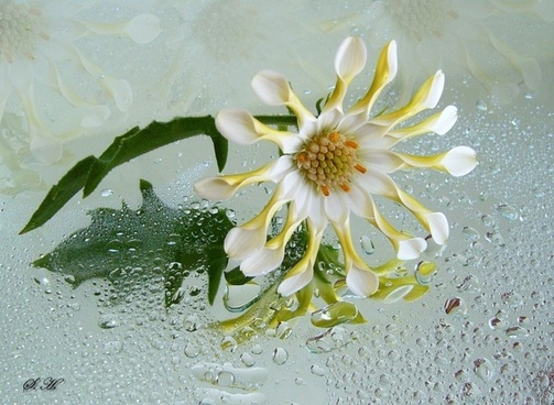 osteospermum white flower reflections