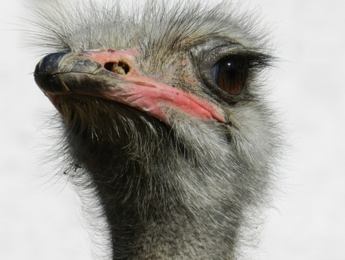 ostrich south africa ostriches