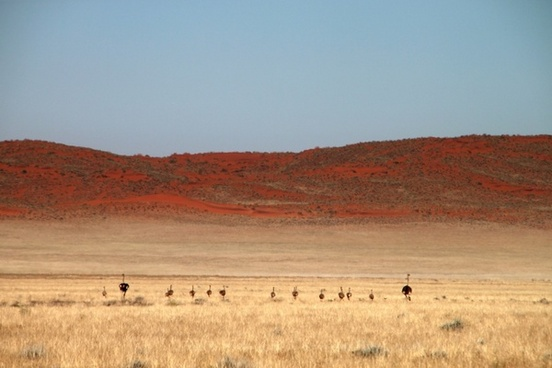 ostriches wildlife wild