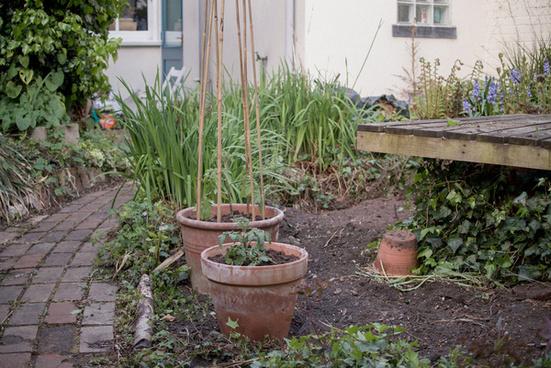 our tomato plants