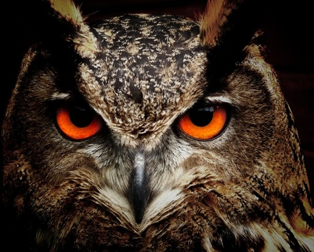 owl bird eyes