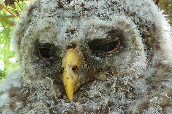 owl chick feather