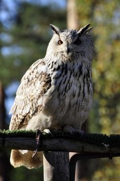 owl eagle owl raptor