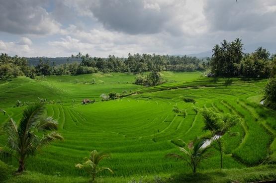 paddy field on bali