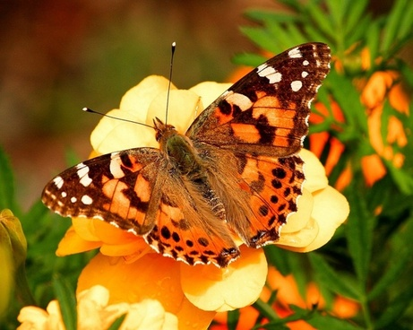 painted lady butterfly vanessa cardui insect