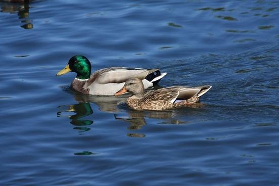 pair of swimming mallard ducks