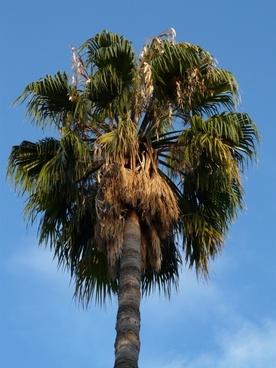 palm date palm phoenix palm