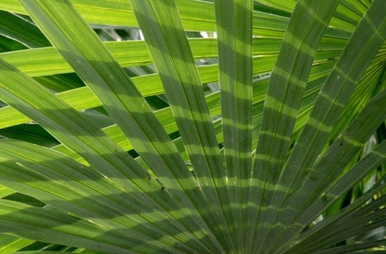 palm fronds palm leaf plant