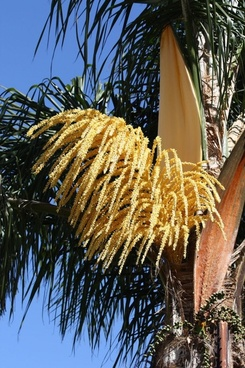 palm tree blossom