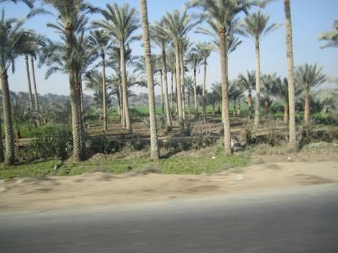palm trees egypt