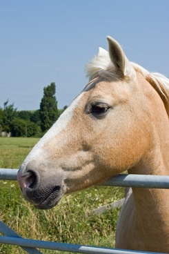 palomino horse palomino horse