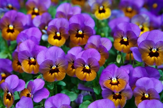 pansy background bloom