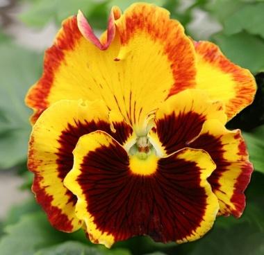 pansy flower garden pansy