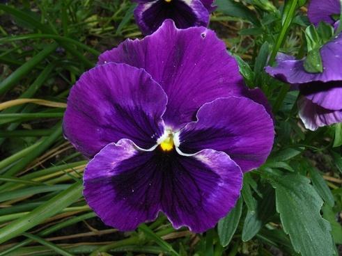 pansy flower violet