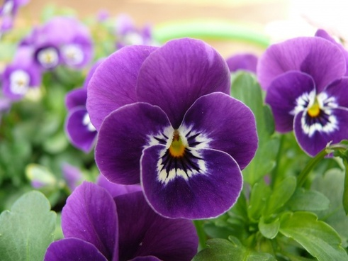 pansy macro photography plant