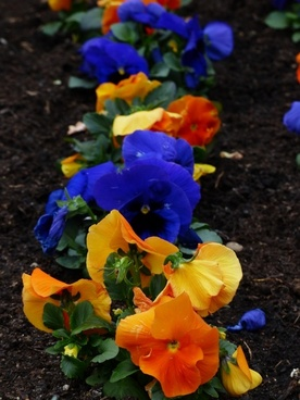 pansy viola wittrockiana flower plants