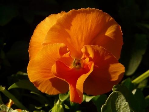 pansy violet orange
