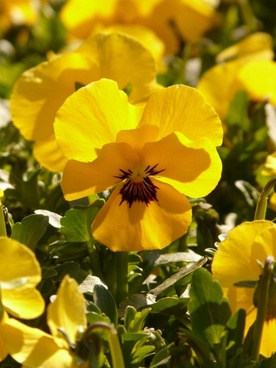 pansy violet yellow