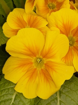 pansy yellow flower