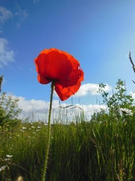 papaver rhoeas corn poppy red