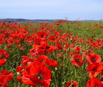 Papaver Rhoeas Poppy Field