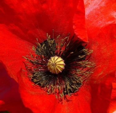 papaver rhoeas poppy flower wild plant