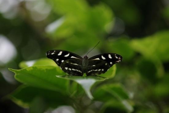 papilio demodocus butterfly animal
