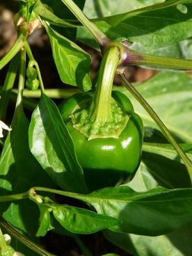 paprika bell pepper plant pepper shrub