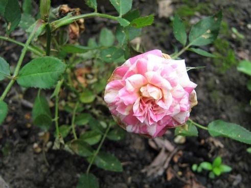 parade rose bloom