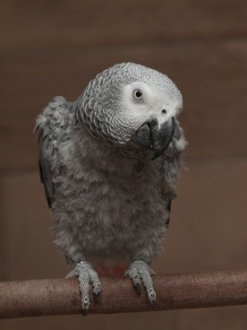 parrot african grey