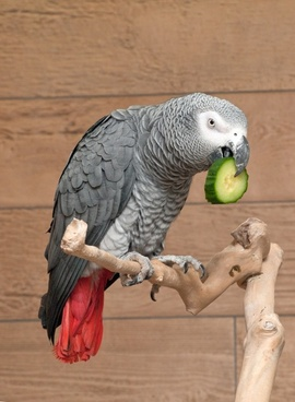 parrot african grey bird