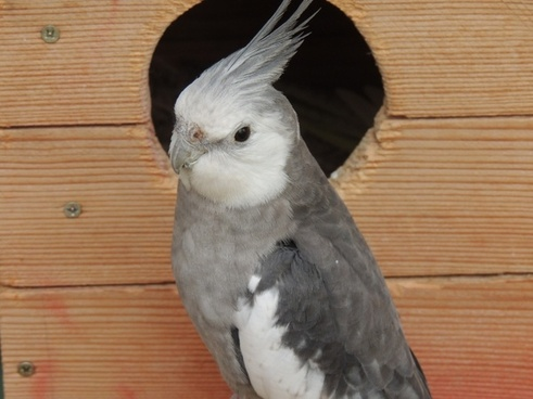 parrot cockatiel bird