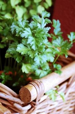 parsley herbs aromatic herbs