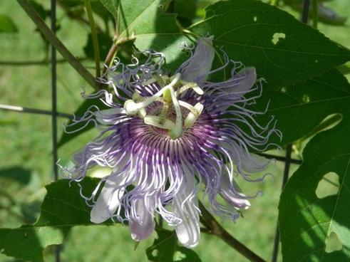 passion flower bloom purple