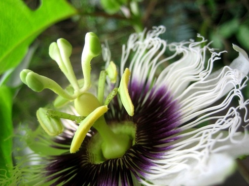 passion flower flower nature