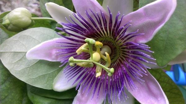 passion flower flower summer