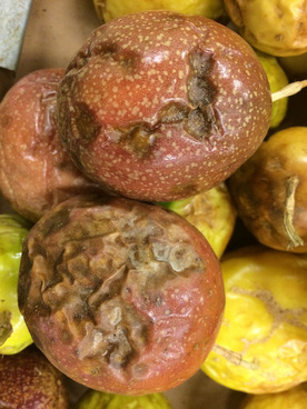passion fruit anthracnose